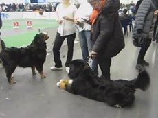 Выставка собак Киев 7